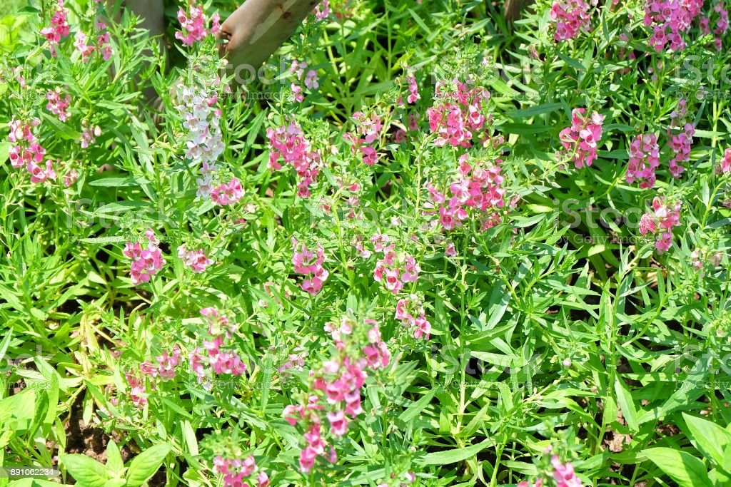 Pink and White Angelonia Goyazensis Benth Flowers stock photo
