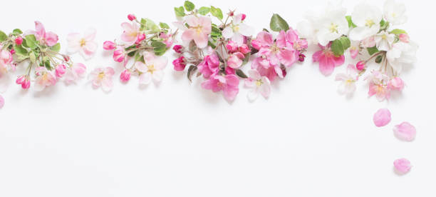 pink and white apple flowers on white background stock photo