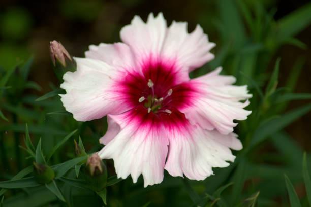 Flor de cravo rosa e branco - foto de acervo