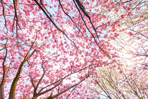 Pink and White Cherry blossom