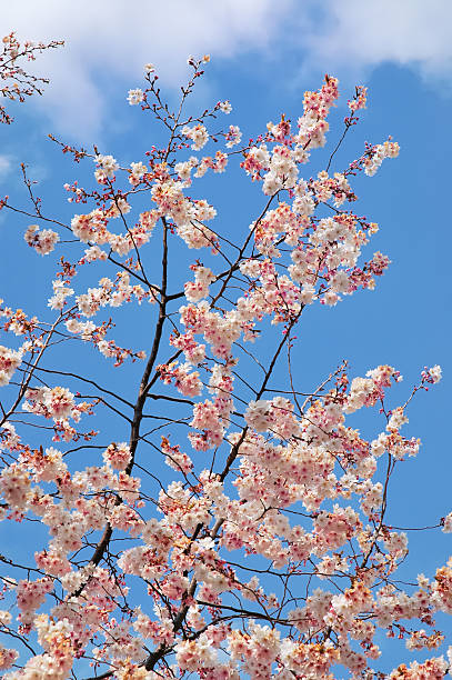 Pink and white cherry blossoms against a blue sky stock photo