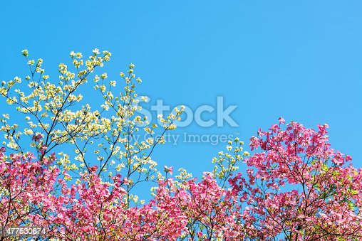 istock Pink and White Cherry Blossoms 477530674