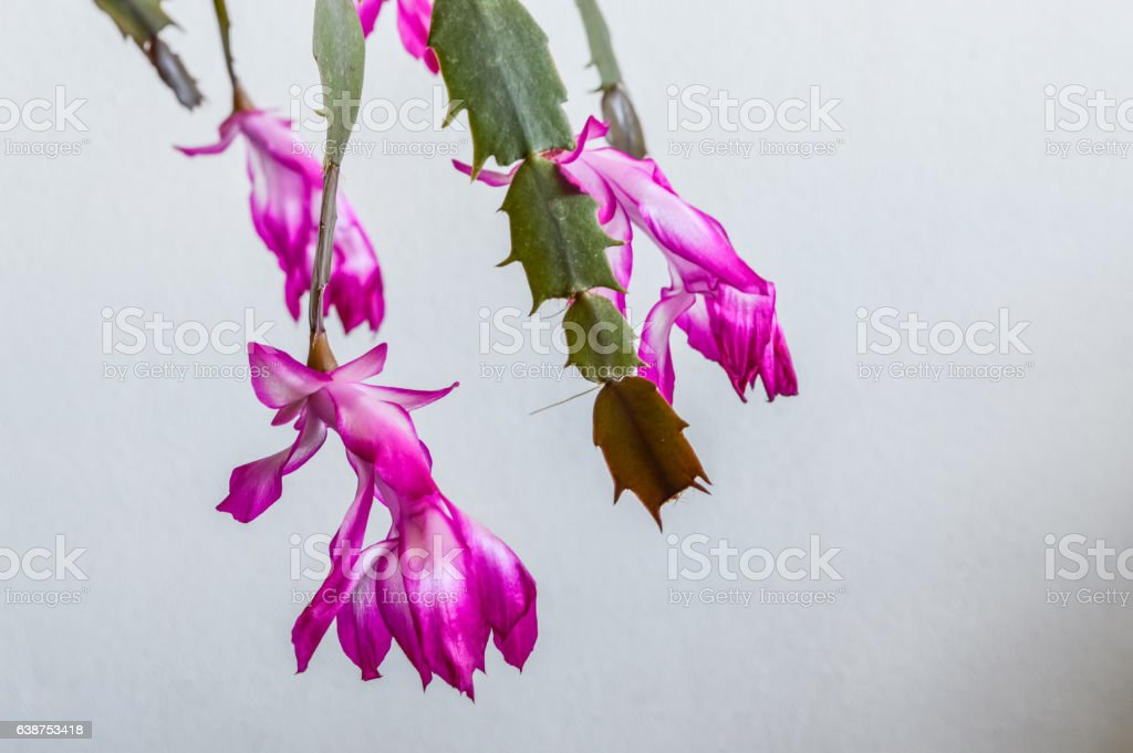 Pink and White Christmas Cactus flowers closeup stock photo