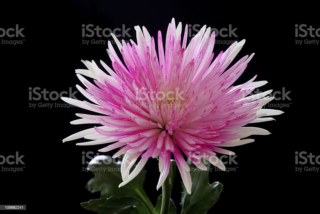 Pink and White Chrysanthemum on Black Background stock photo