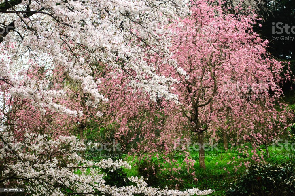 Pink and white colored flowers of cherry blossoms in japan stock pink and white colored flowers of cherry blossoms in japan royalty free stock photo mightylinksfo