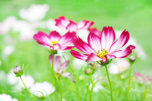 Pink and white cosmos flower blooming in the green garden stock pink and white cosmos flower blooming in the green garden stock photo more pictures of autumn istock mightylinksfo