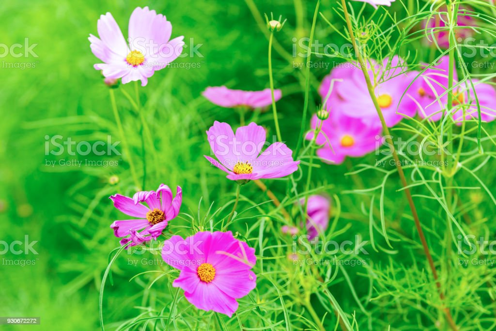 Pink And White Cosmos Flowers In Garden Beautiful Flower Stock Photo
