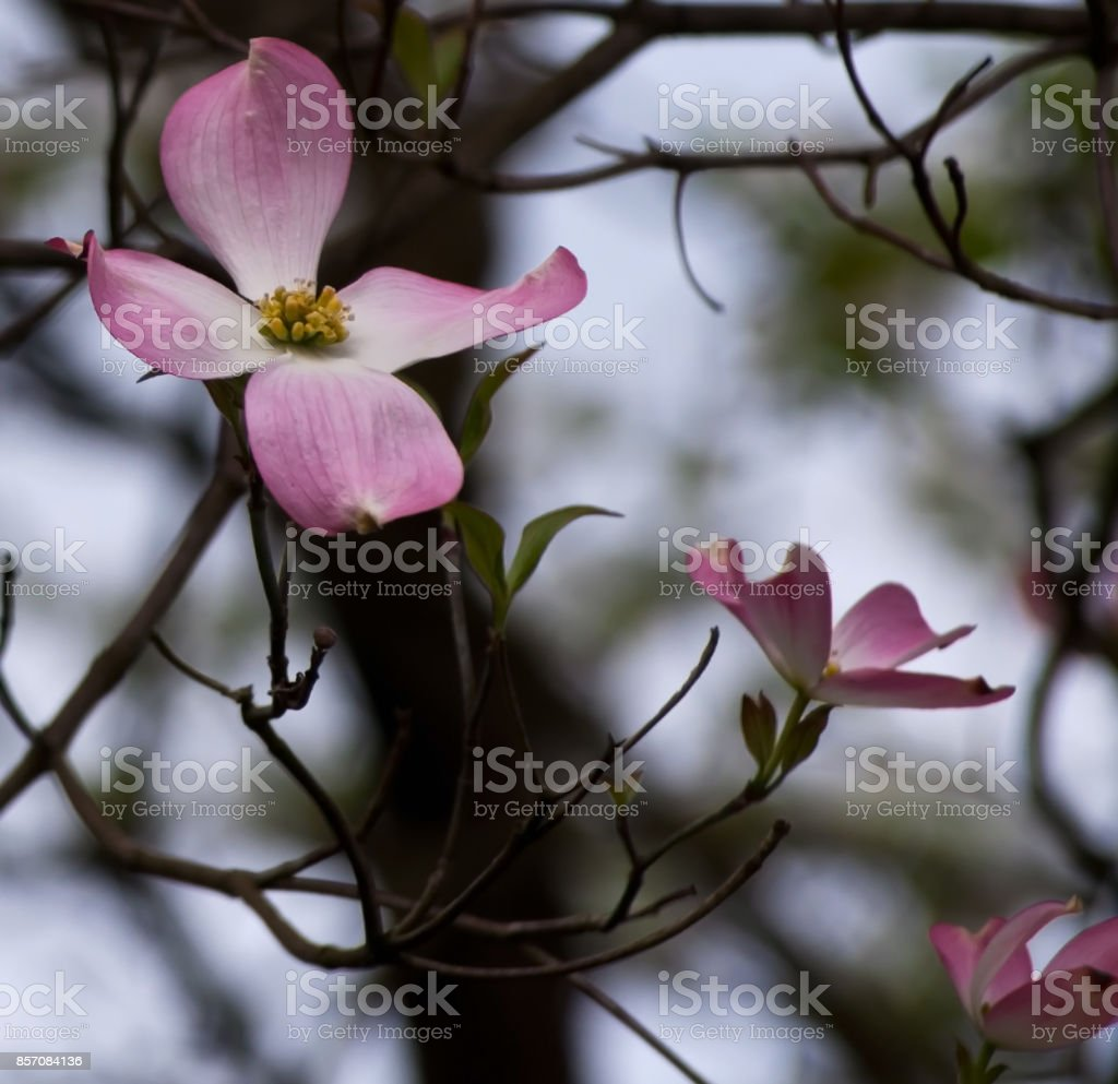 Pink and white dogwood flowers stock photo