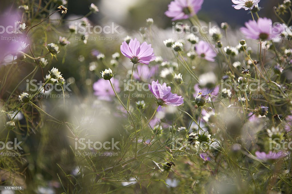 Pink and white drift of cosmos flowers royalty-free stock photo