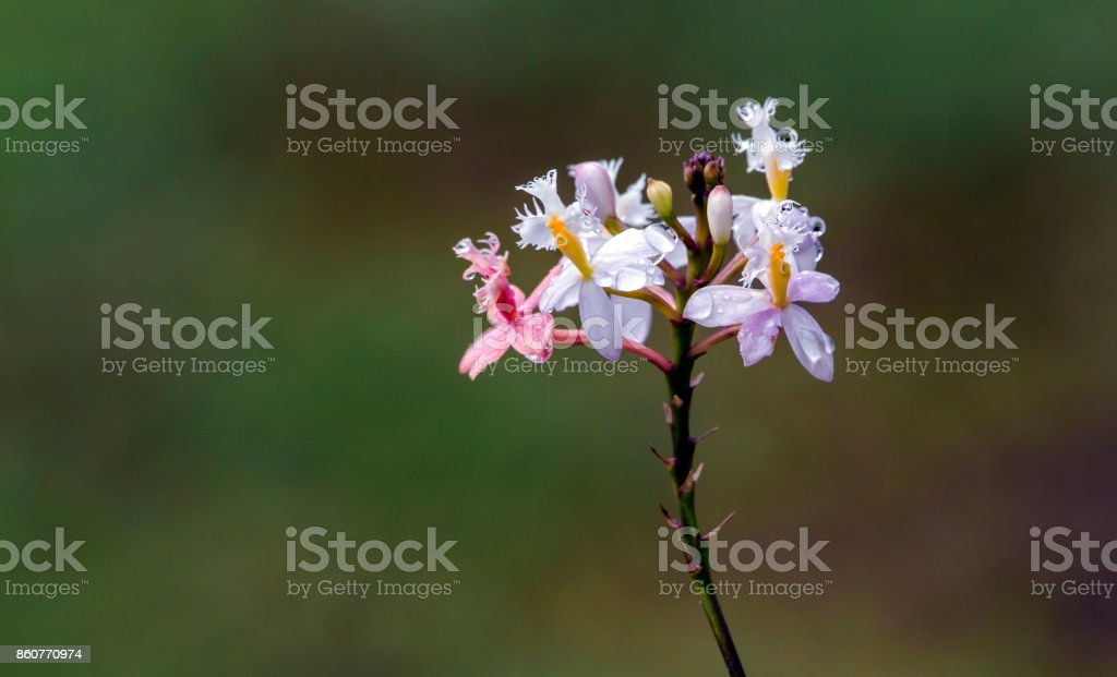 Pink and White Epidendrum Orchid on Blurred  Background stock photo