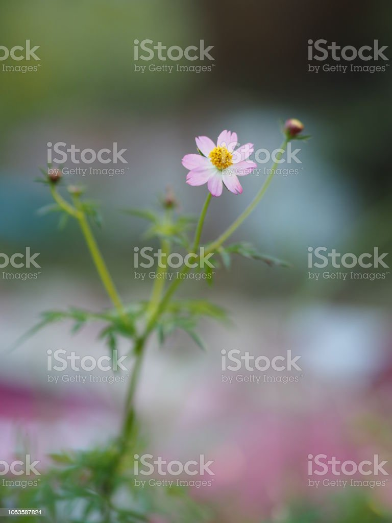 Pink And White Flower Cosmos Caudatus Wild Cosmos Ulam Raja King Of