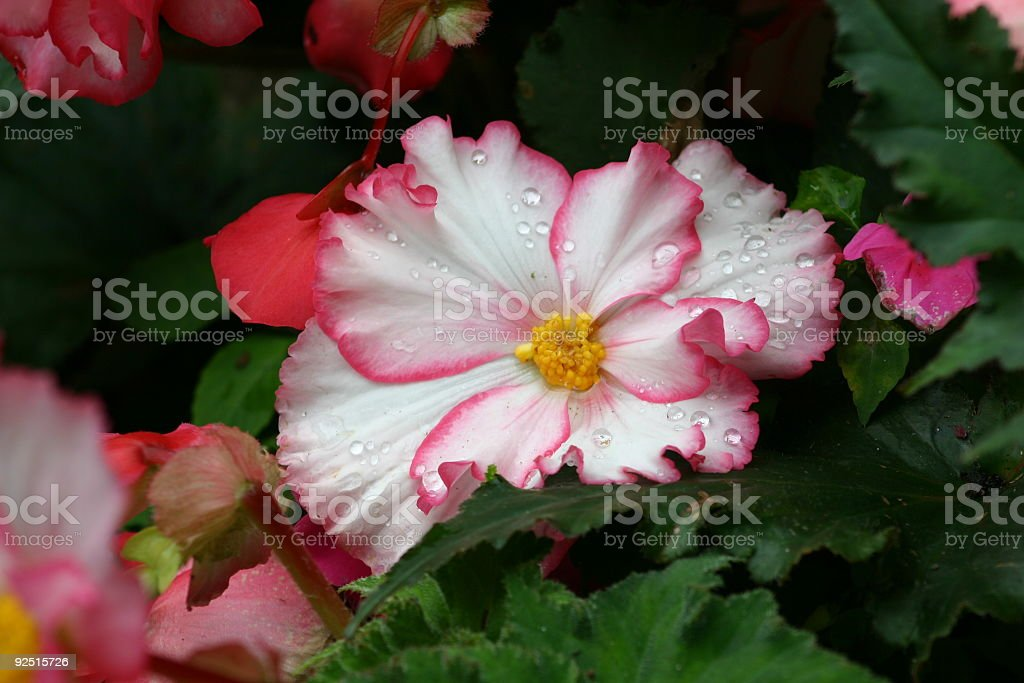 pink and white flower royalty-free stock photo
