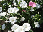 Pink and white flowers on a flower bed in the garden in summer