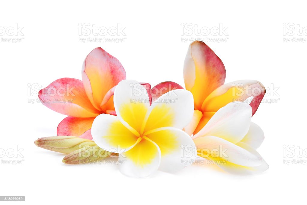 pink and white frangipani or plumeria (tropical flowers) isolated on white background stock photo