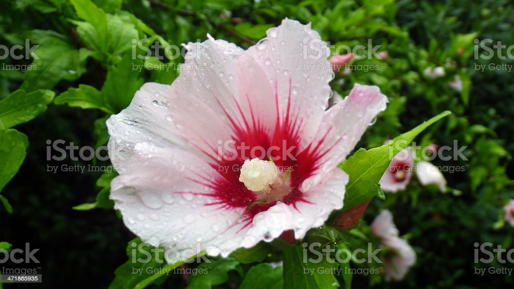 Pink and white hibiscus flower in garden royalty-free stock photo