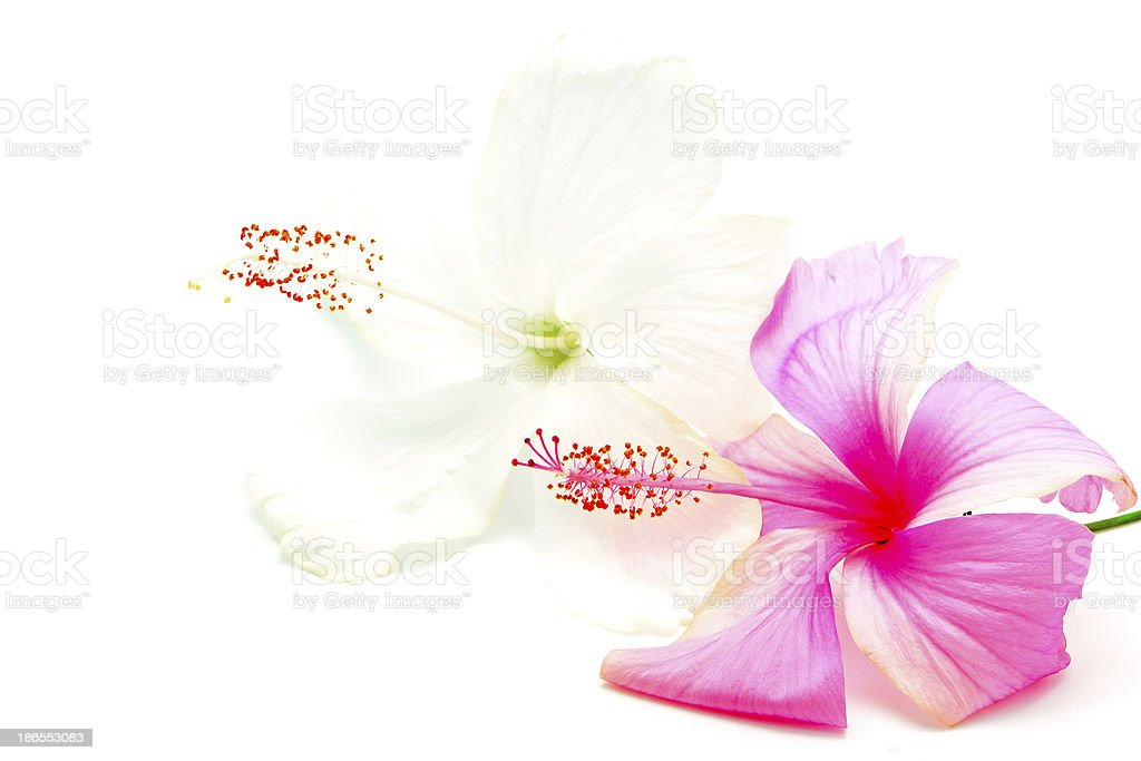 pink and white Hibiscus royalty-free stock photo