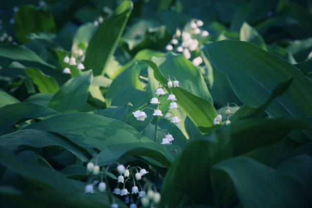 Pink and White Lily of the Valley Flower Landscaping Plant stock photo
