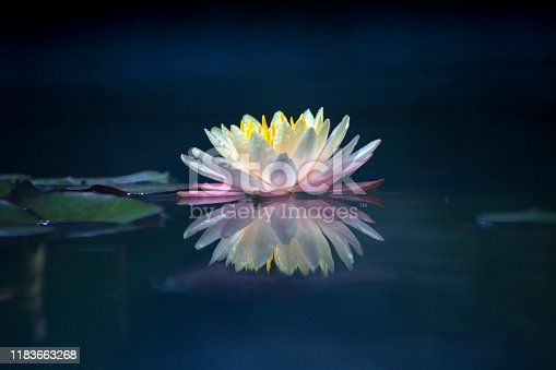istock Pink and white lotus flower and green leaves 1183663268