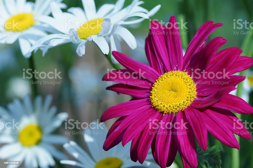 Pink and white marguerites stock photo
