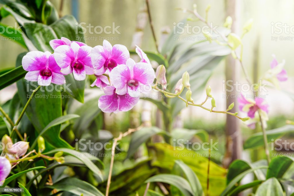 Pink and white orchid in the farm stock photo