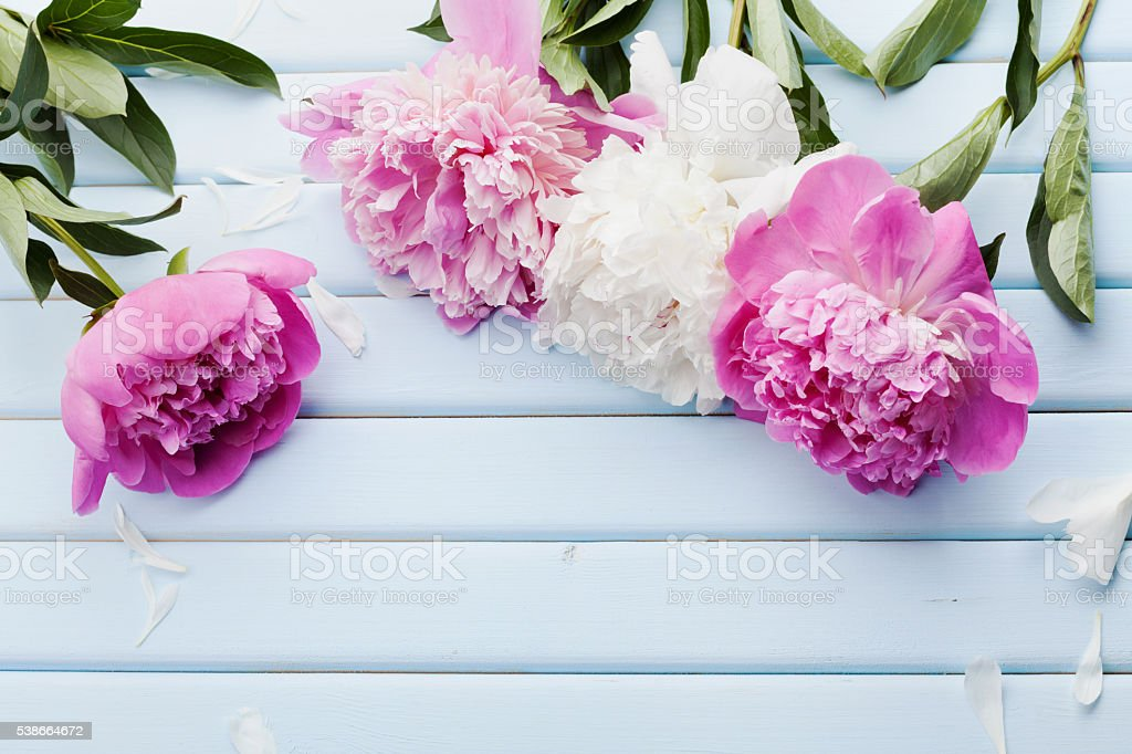 Pink and white peony flowers, copy space for text stock photo