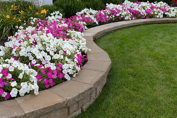 Pink and White Petunias Peink and White petunias on the flower bed along with the grass perennial stock pictures, royalty-free photos & images