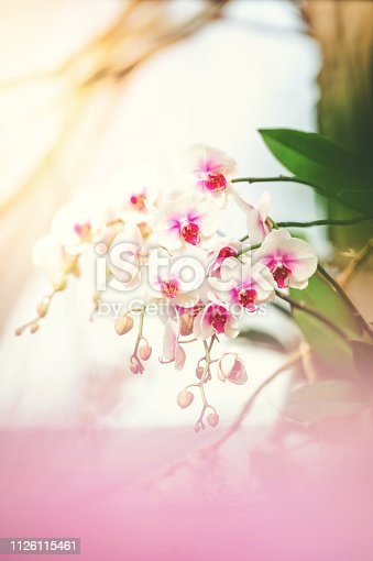 Pink and White Phalaenopsis Orchid in distance with blurred foreground