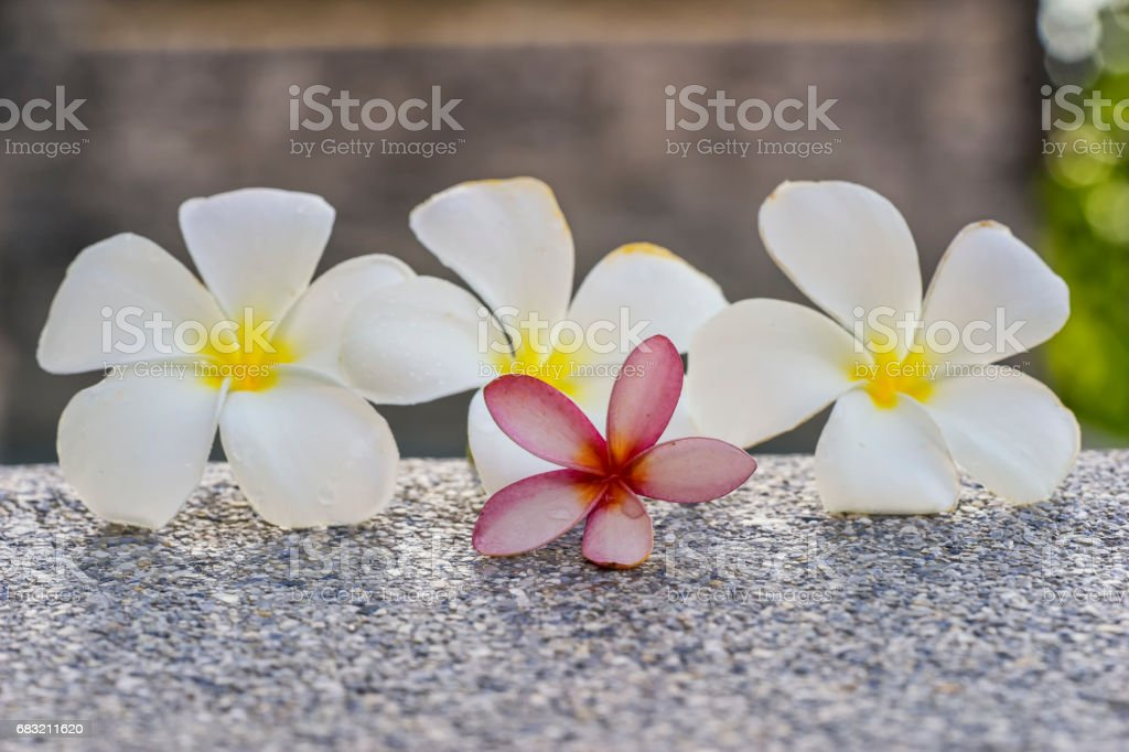 pink and white plumeria on the ground spa 免版稅 stock photo