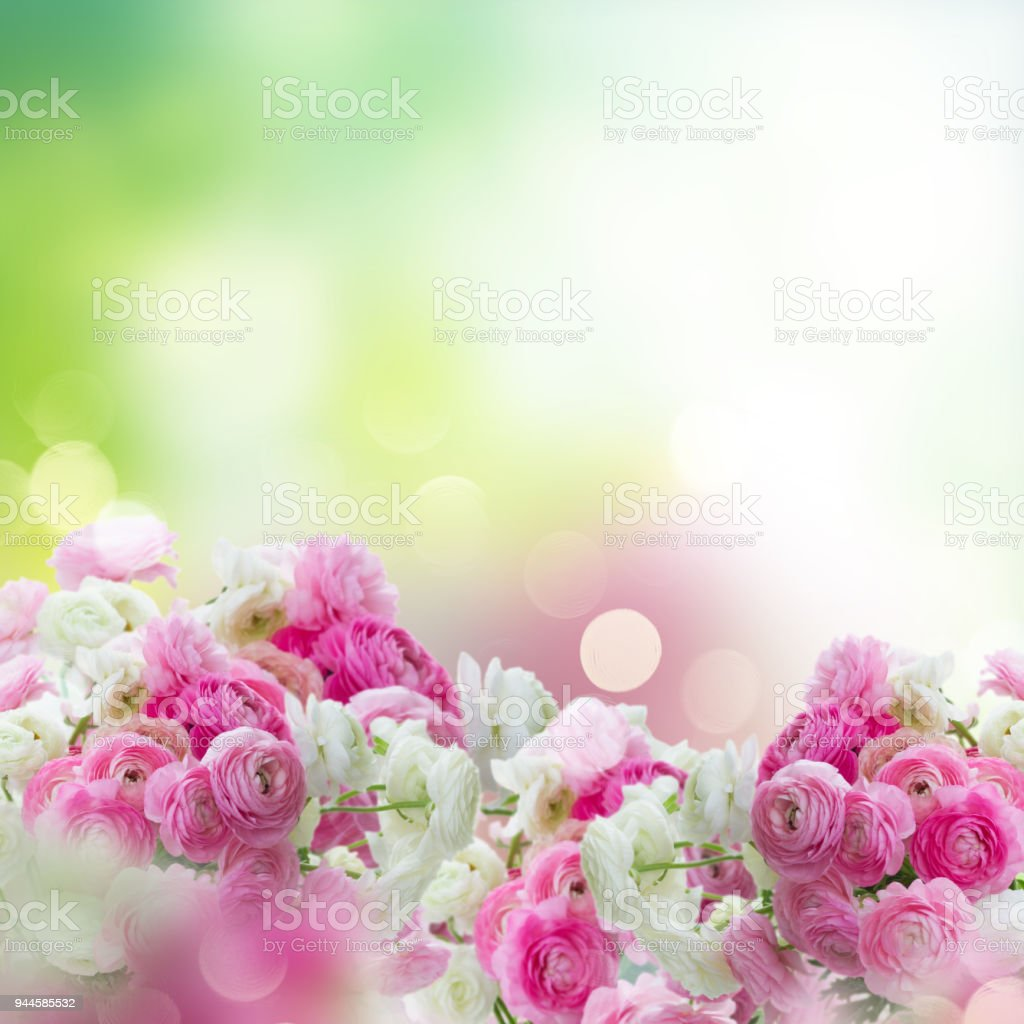 Pink And White Ranunculus Flowers Stock Photo More Pictures Of