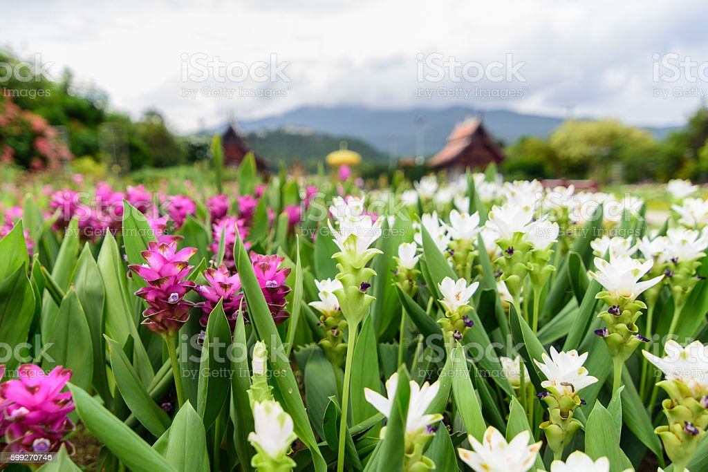 Pink and white Siam tulip flower. stock photo