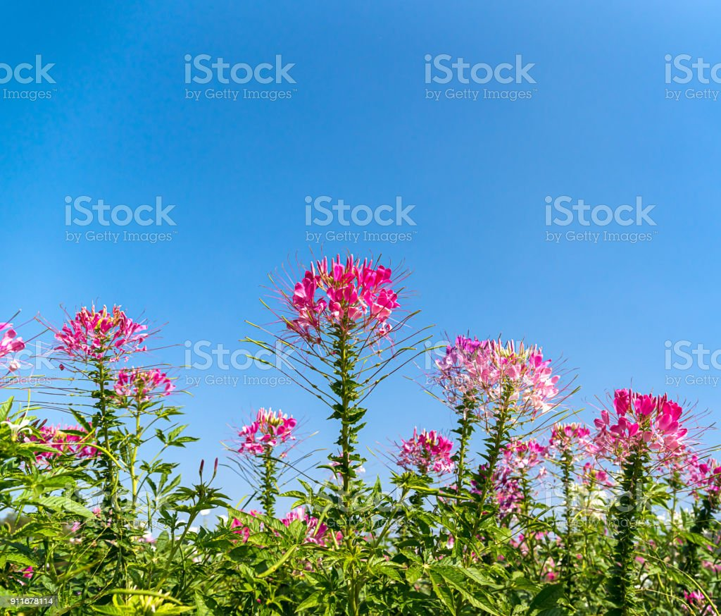 Pink And White Spider Flower Agent Blue Sky Stock Photo More