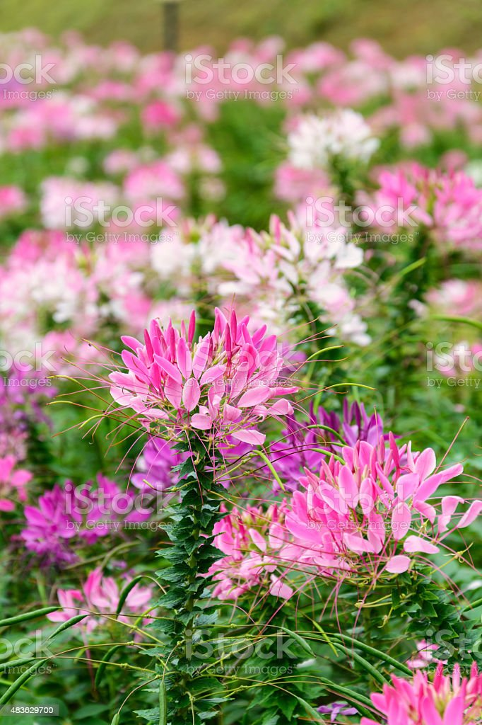 Pink and white Spider flower(Cleome hassleriana) blooming in the stock photo