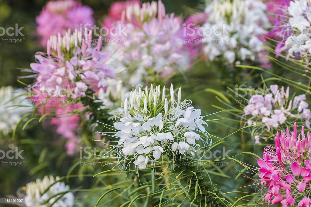 Pink And White Spider flower(Cleome hassleriana) stock photo