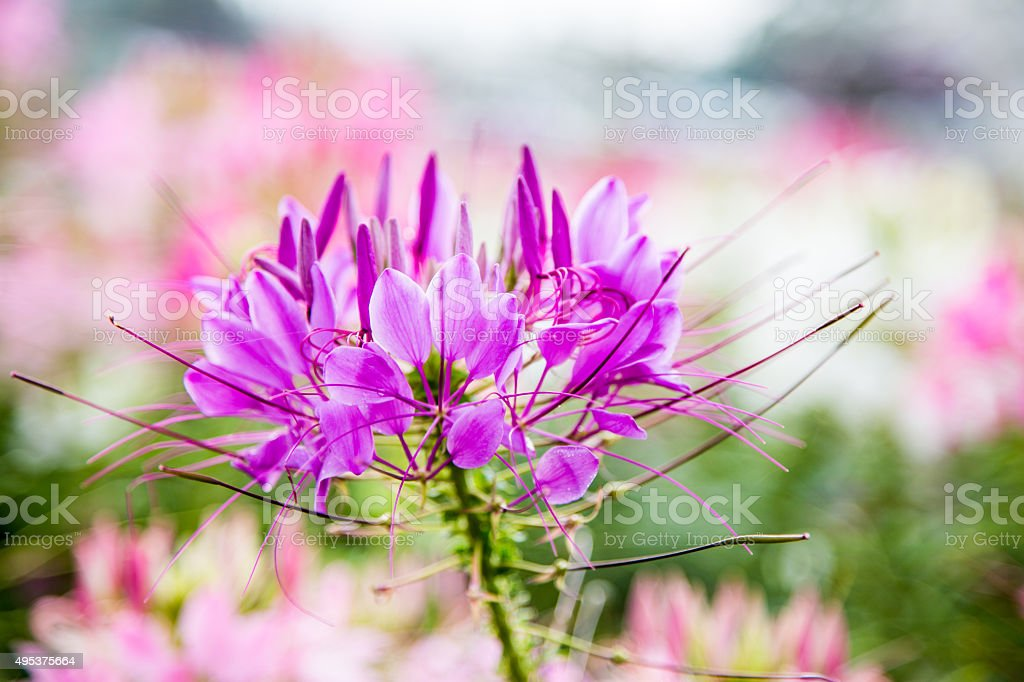 Pink And White Spider Flower Stock Photo More Pictures Of 2015