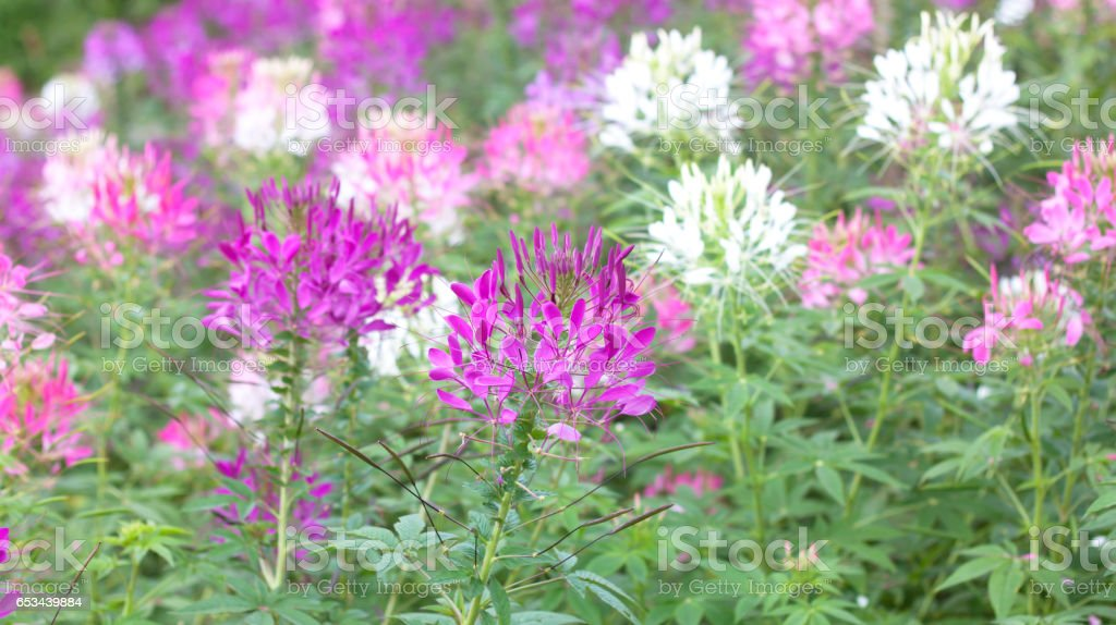 Pink And White Spider flower stock photo