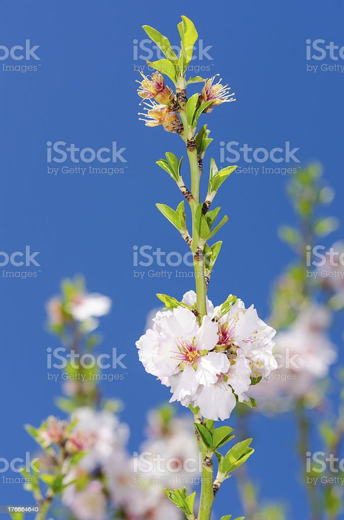 Pink and white spring blooming royalty-free stock photo