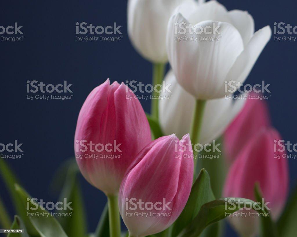 Pembe ve beyaz bahar laleler royalty-free stock photo