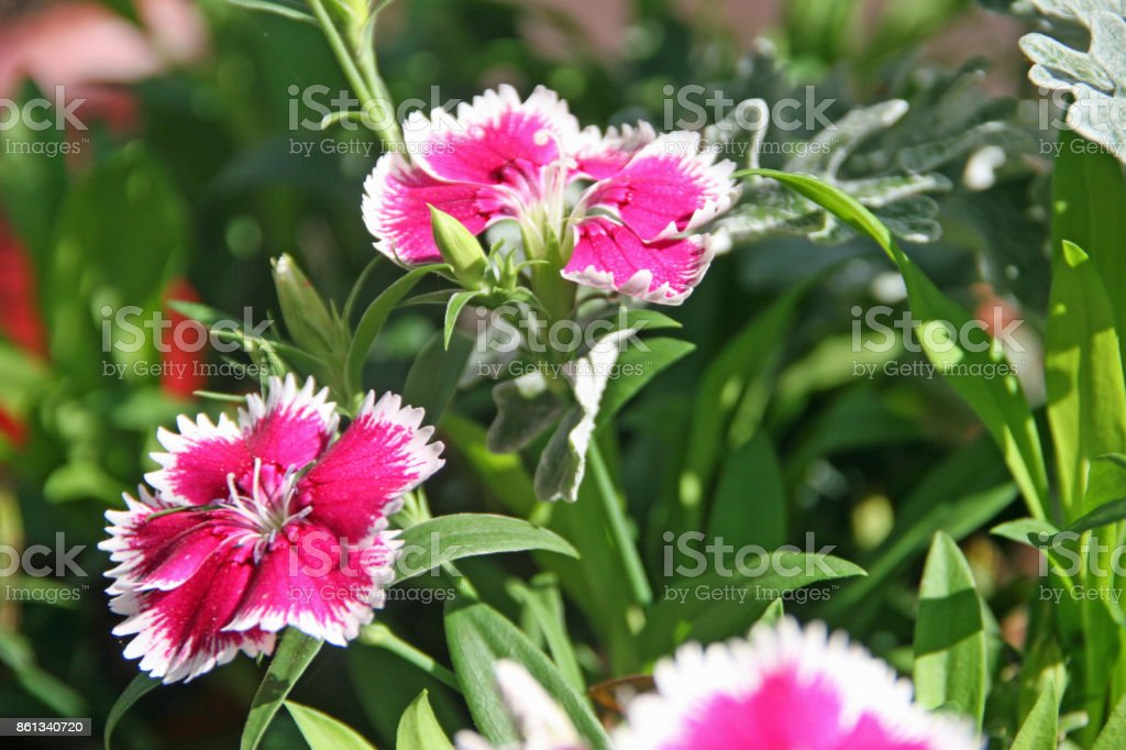Pink and white sweet william spring flower bloom varied green stock pink and white sweet william spring flower bloom varied green royalty free stock photo mightylinksfo