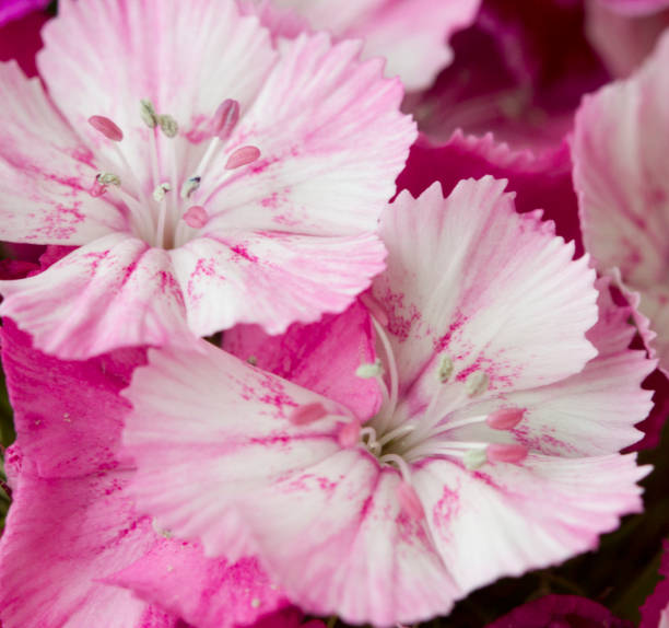 Royalty free sweet william flower pictures images and stock photos pink and white sweet william like spring background outdoor blurred stock photo mightylinksfo