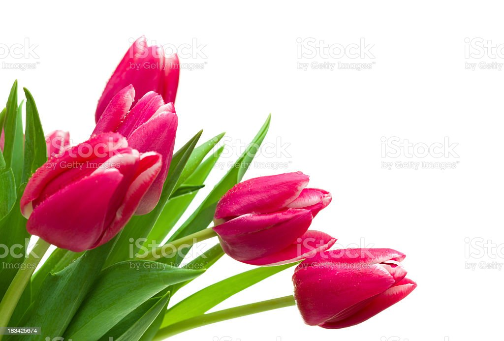 Pink and white tulips on a white background royalty-free stock photo