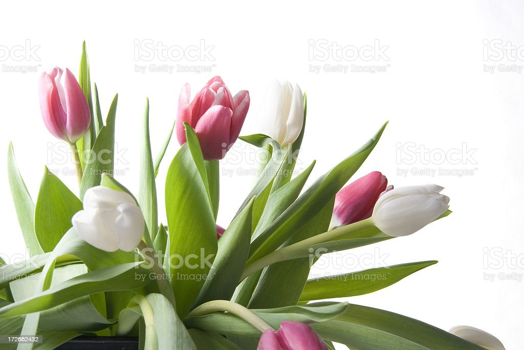 Pink and White Tulips royalty-free stock photo
