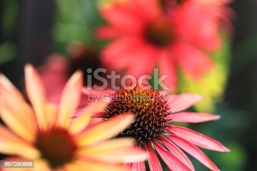 Pink and yellow coneflower (Echinacea) in the garden