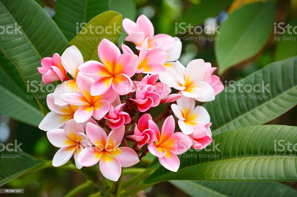 Pink and Yellow Frangipani Flowers stock photo