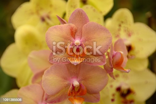 Phalaenopsis Moth : bright color orchid flowerheads
