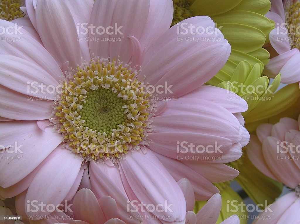 pink and yellow royalty-free stock photo