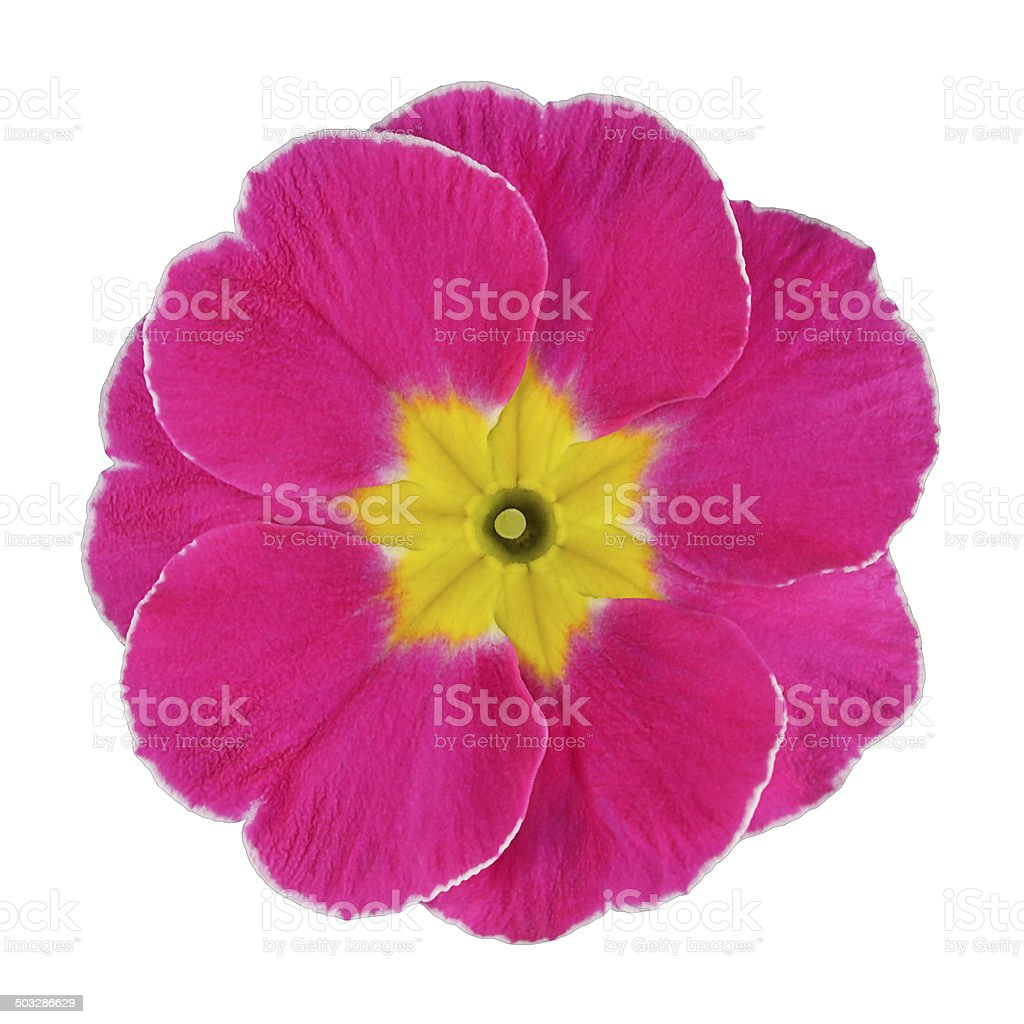 Pink and Yellow Primrose Flower Isolated stock photo