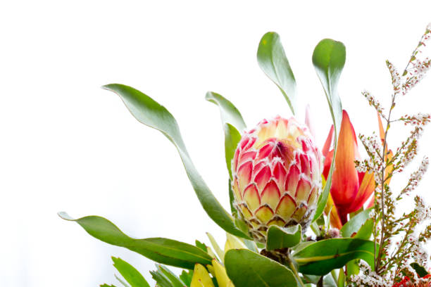 Pink and yellow protea flower against white background with copy space stock photo