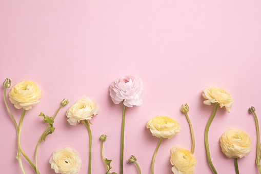 Pink and yellow ranunculus and peony roses on pink background. Flat lay, top view