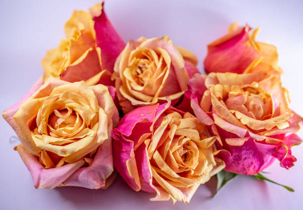 pink and yellow rose bloom pile on white stock photo