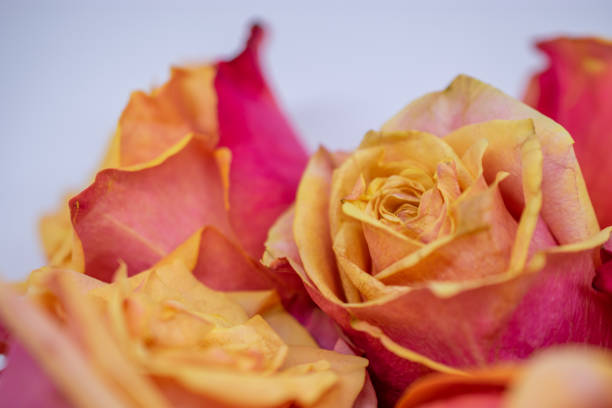pink and yellow rose blooms stock photo